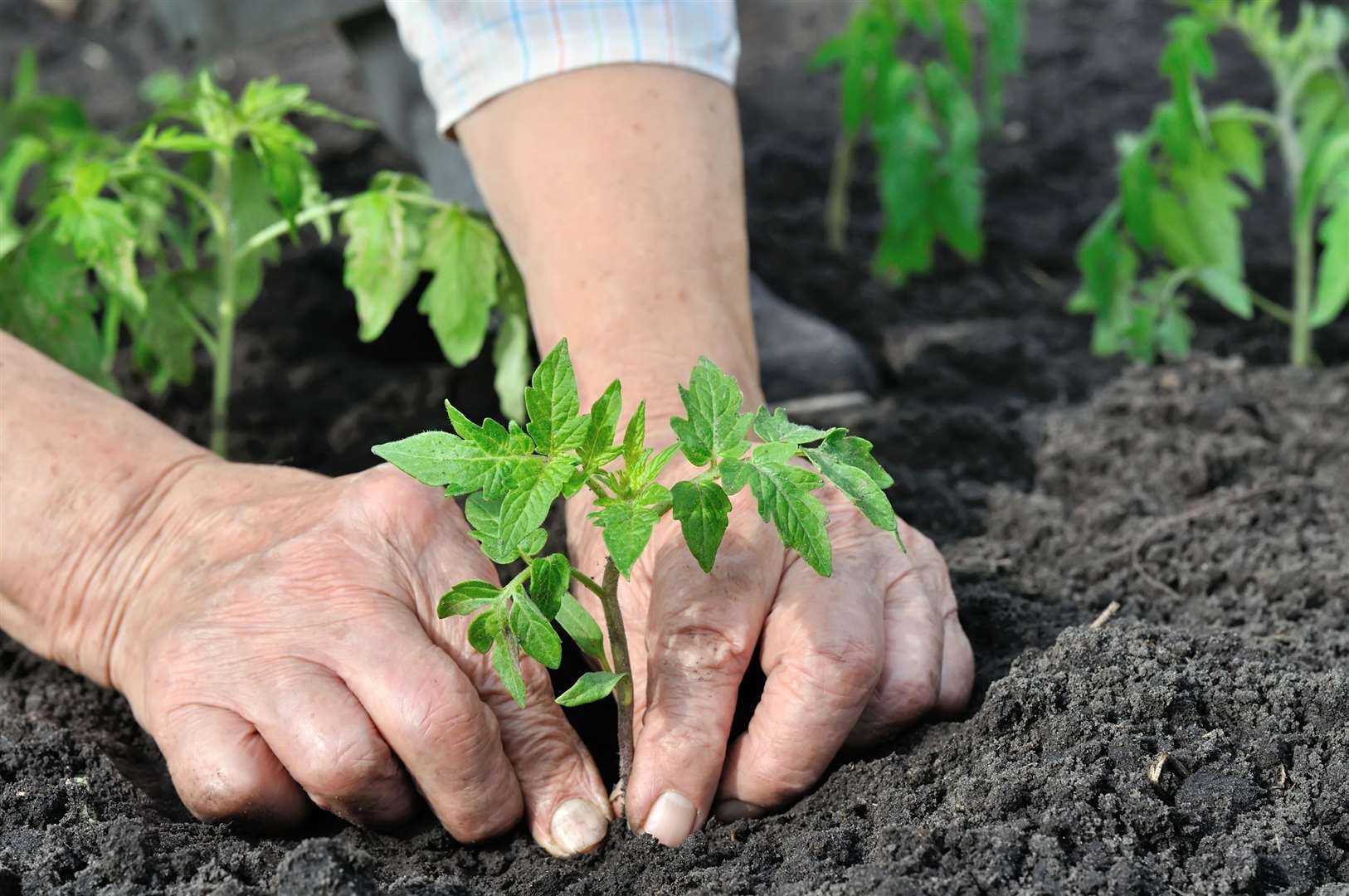 Planting tomatoes. Picture: iStock/PA