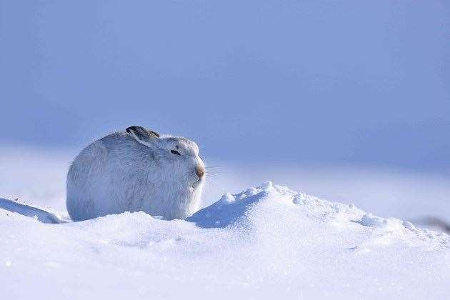 Volunteers wanted for national survey on the numbers of Scottish Mountain Hares.