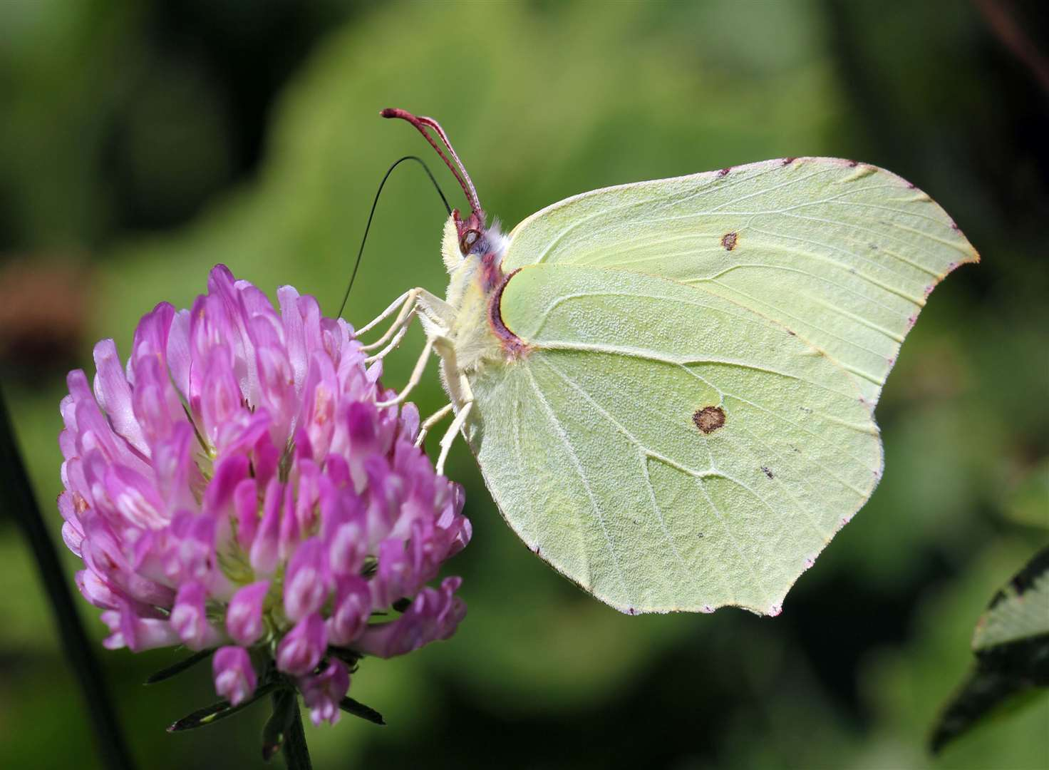 Brimstone butterfly. Picture: Jim Higham/PA