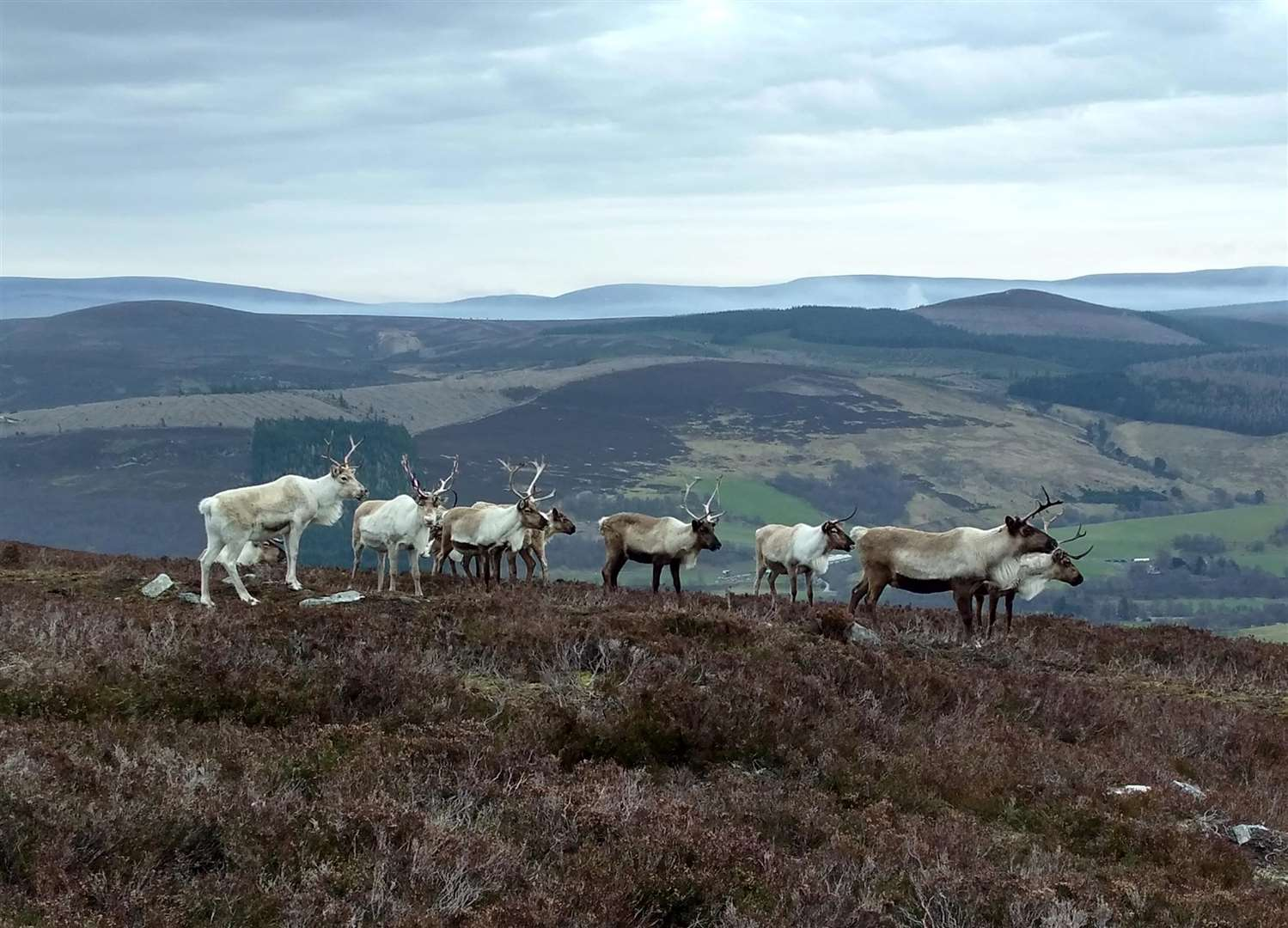 The Cairngorm reindeer herd roaming the hills.