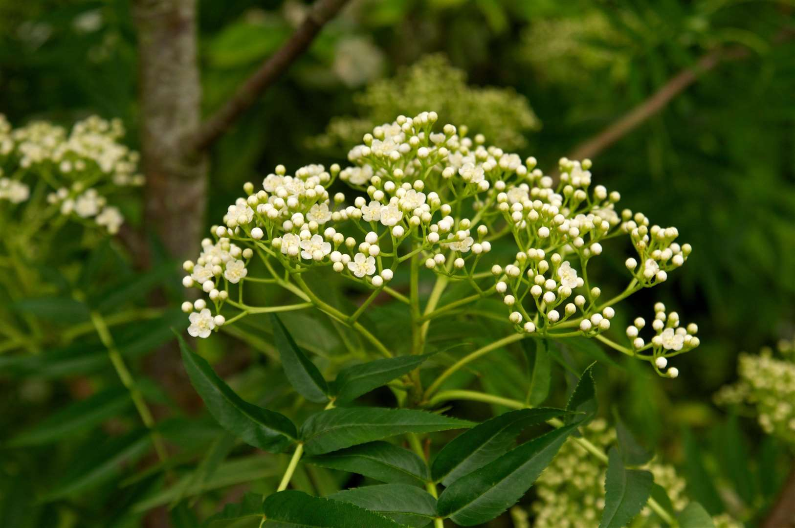 Japanese rowan (Sorbus 'Olympic Flame'). Picture: Tim Sandall/RHS/PA