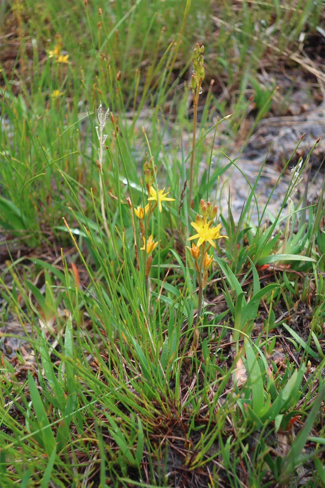 The bog asphodel was plentiful in the wet conditions.