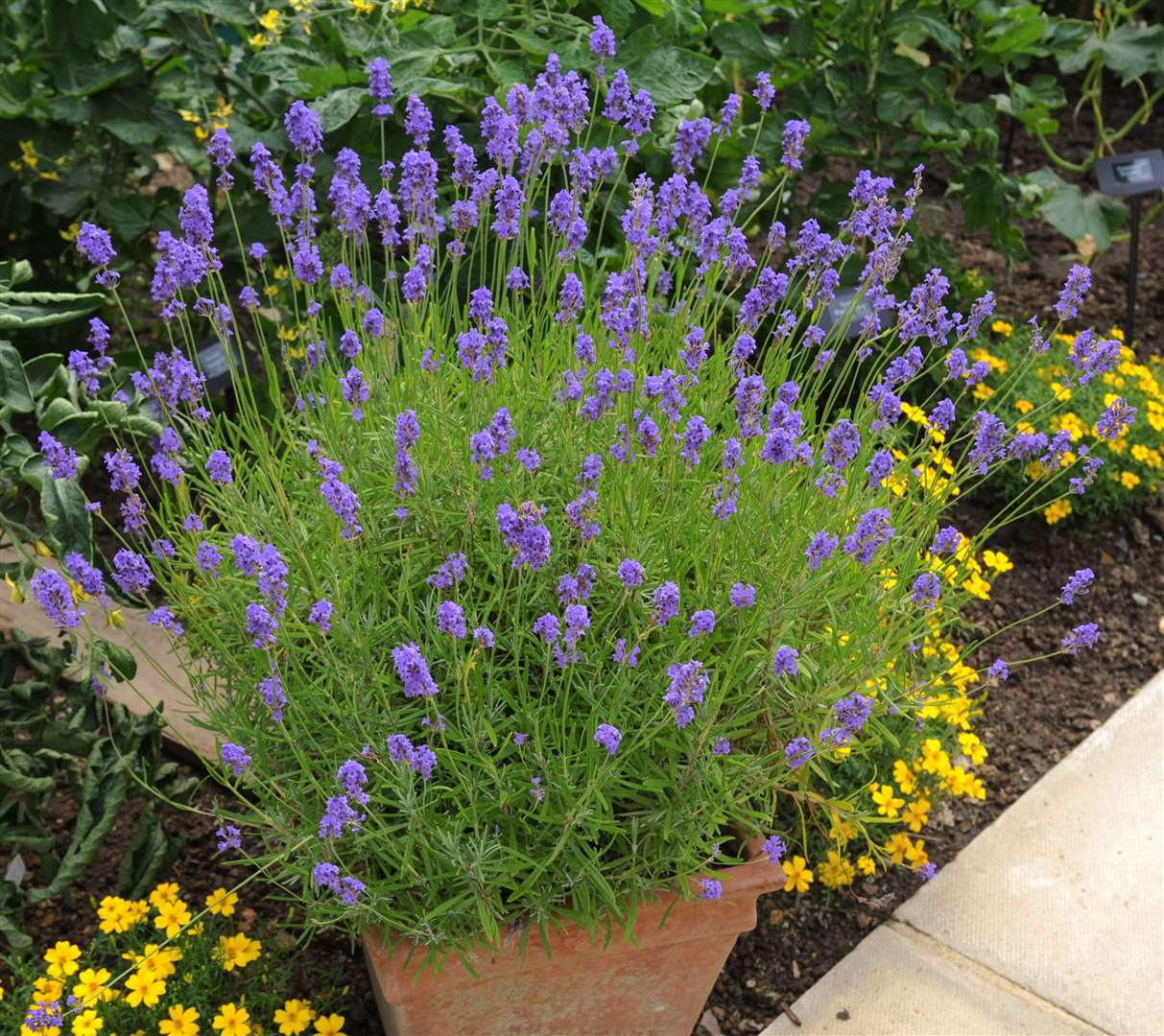 Lavender works well as a single pot or a series to edge a path. Picture: iStock/PA