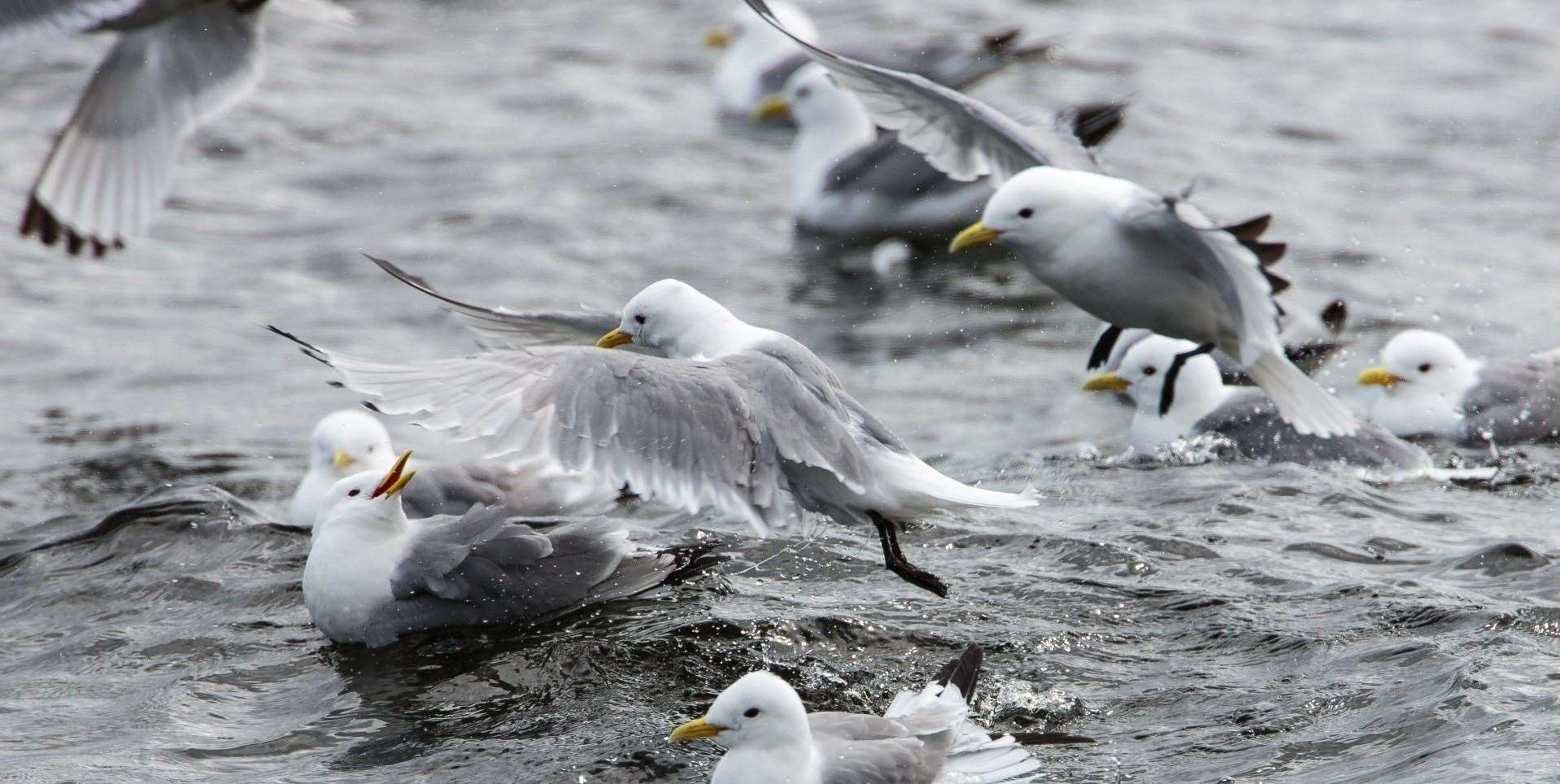 Flight patterns of kittiwakes and other breeding birds will be monitored at the Aberdeen offshore wind farm this summer.