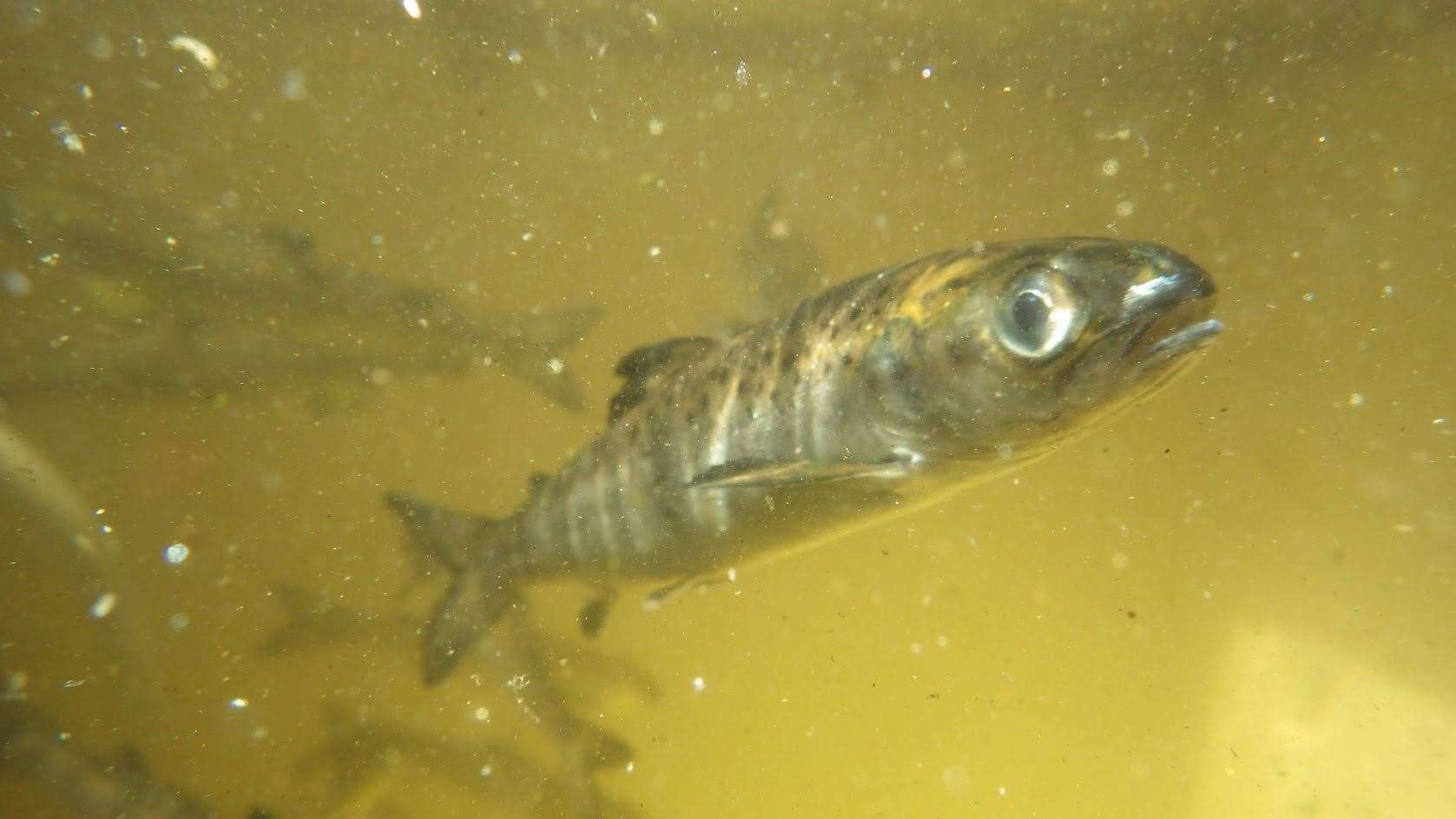 The young salmon risk missing the window to make it to their ocean feeding grounds.