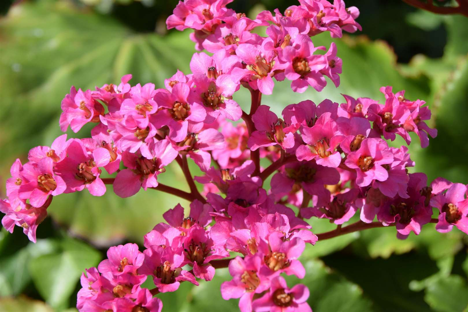 Many perennials make excellent permanent edging, such as Bergenia cordifolia 'Purpurea'. Picture: iStock/PA