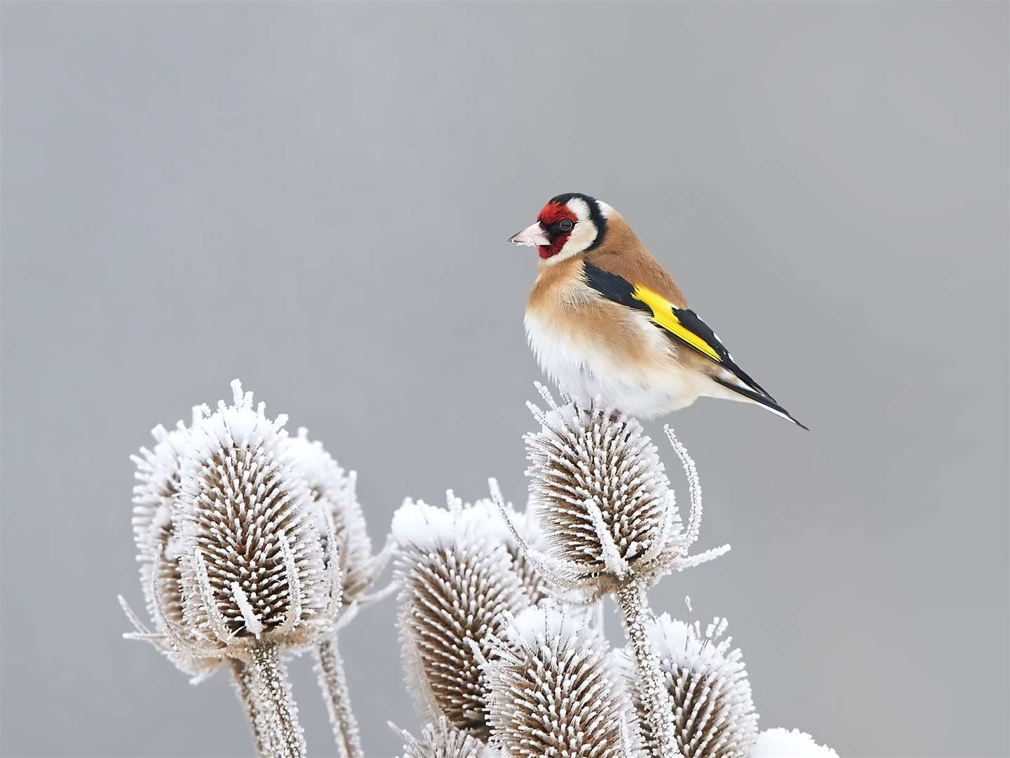 A goldfinch on teasels. Picture: iStock/PA