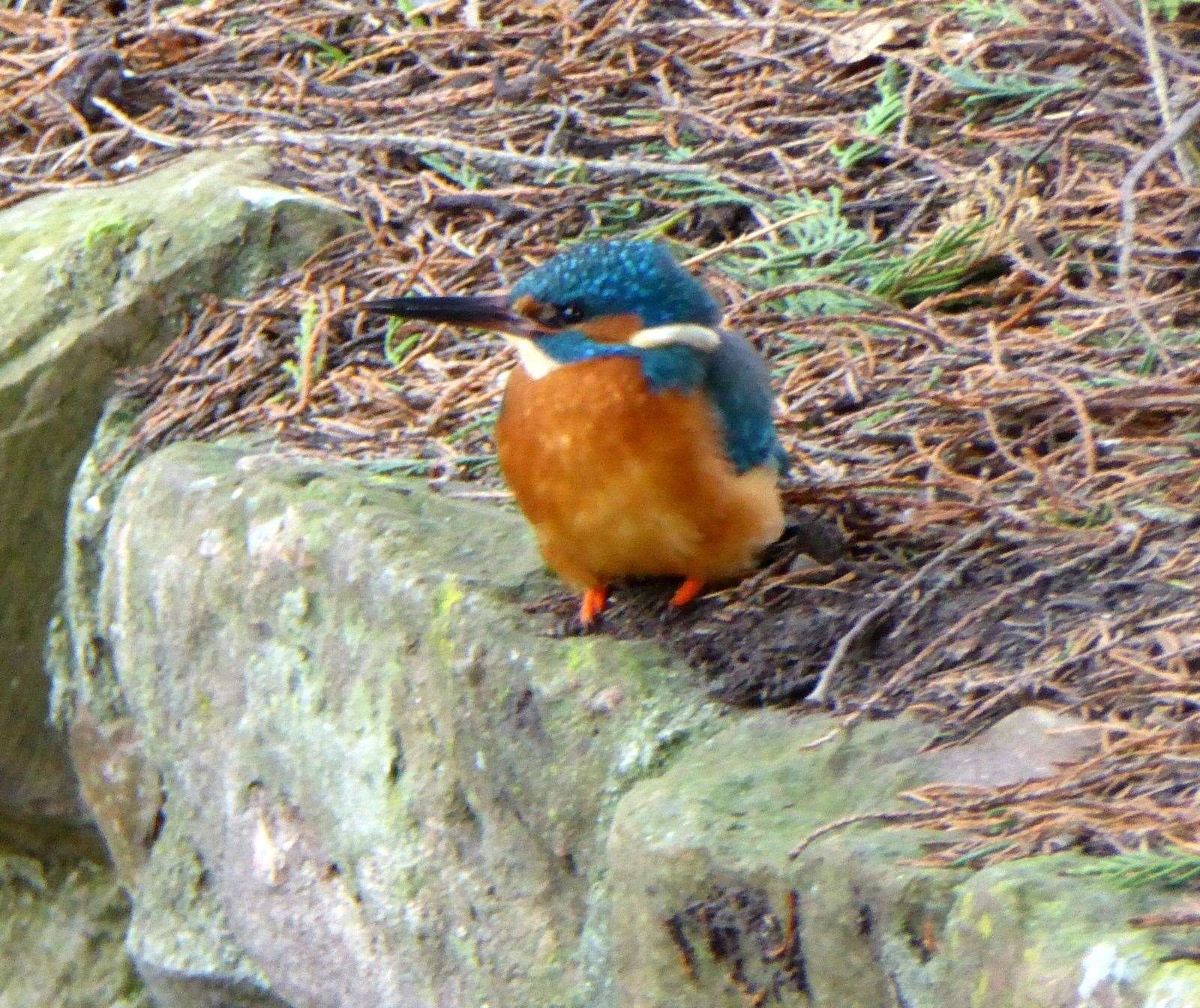 A Kingfisher in Whin Park.