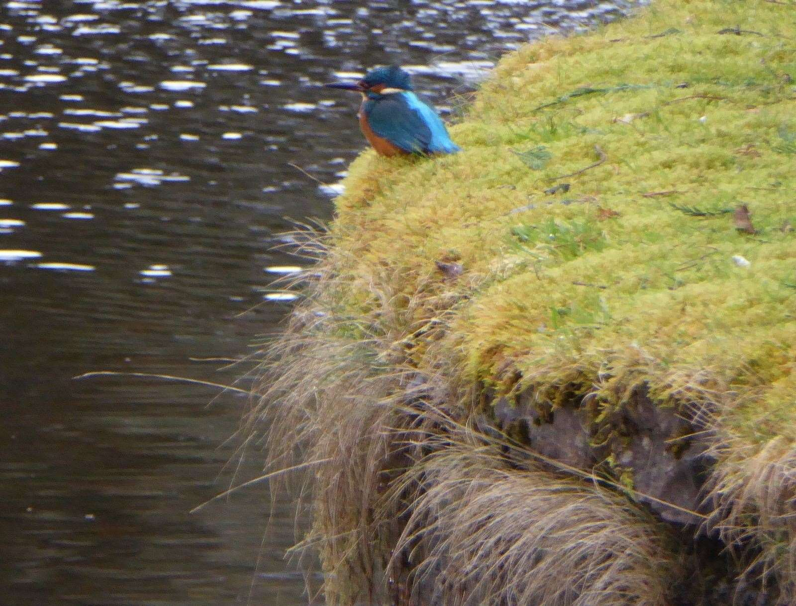 A Kingfisher that can often be seen in the same place in Whin Park
