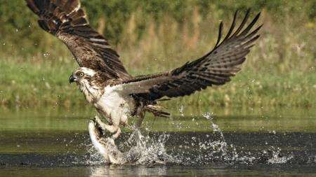 This osprey's hunting skills have been viewed over 13 million times online.