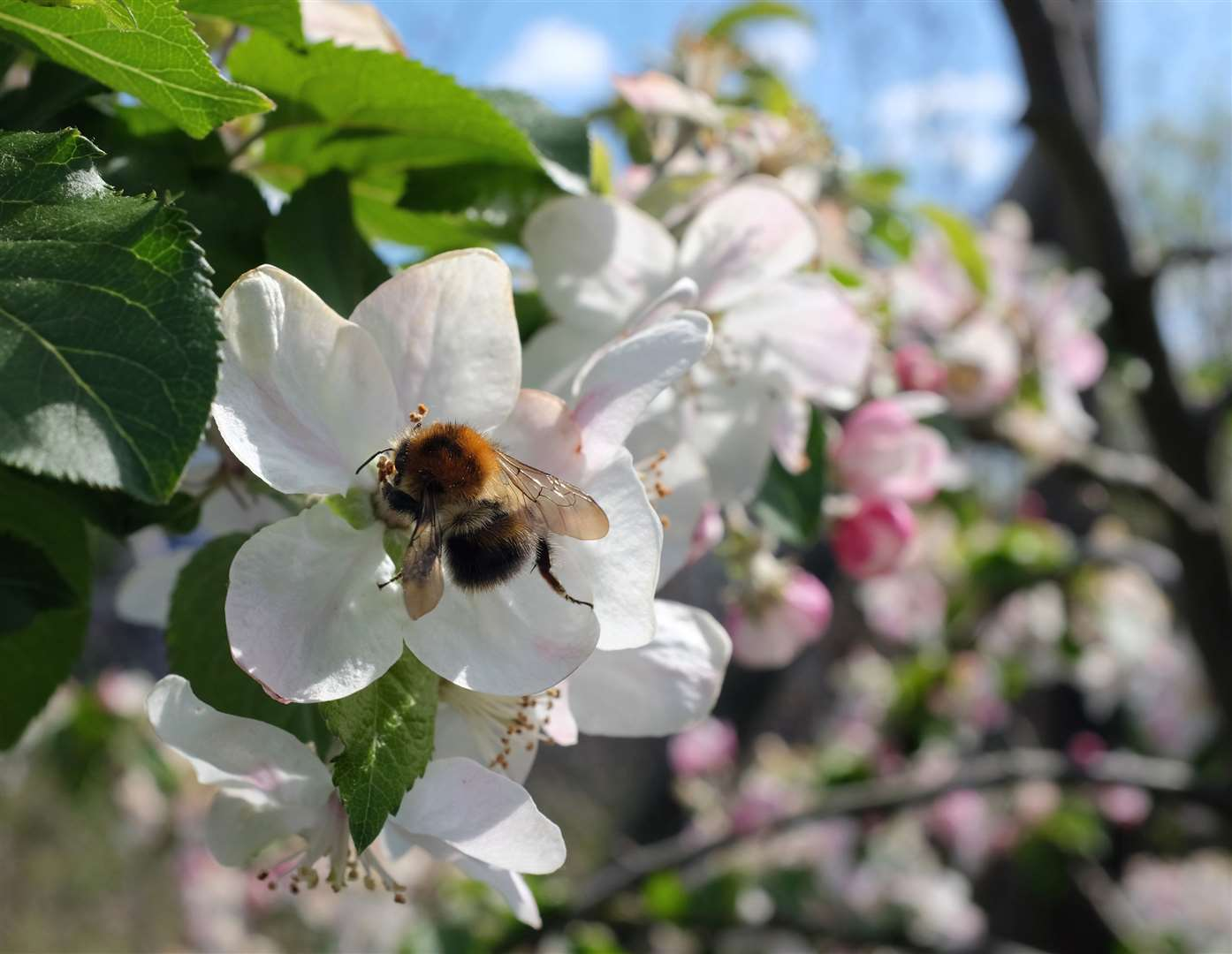 A bee on apple blossom. Picture: iStock/PA